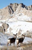 Deer in the Badlands