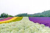 Rows Of Flower Field