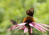 Couple of Gatekeeper butterflies on a pink cone-flower