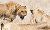 stock photo of african lion  - Wild lion showing teeth to another lion in the pride in Serengeti Tanzania - JPG