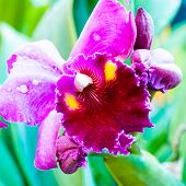 Close Up Shot On Colorful Cattleya Orchids