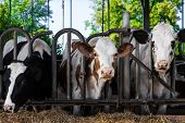 picture of calf cow  - cows in a farm - JPG