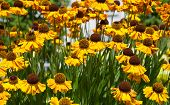 Yellow  Echinacea Flowers In Summer Garden