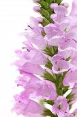 Physostegia wild flower