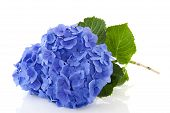 stock photo of hydrangea  - Blue Hydrangea flowers in nature isolated over white - JPG