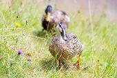 Ducks waddling through a meadow
