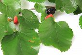 stock photo of mulberry  - Twig of black mulberry  - JPG