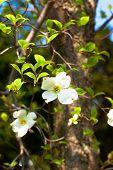 picture of dogwood  - White flowering dogwood tree  - JPG