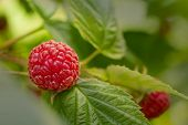 Sweet Organic Raspberries On The Bush