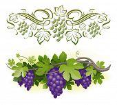 Ripe grapes on the vine & decorative calligraphic vine