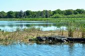 Alligator in water in nature