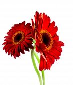 wine-red gerbera