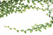 image of ivy  - green ivy climbing fig isolated with white background at thailand - JPG