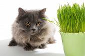 Persian Kitten And A Pot Of Green Grass