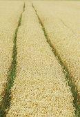 foto of track field  - Tractor tracks in a Organic grain field - JPG