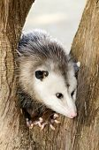 foto of possum  - A male possum sitting in the middle of a brown tree trunk - JPG
