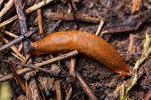 Spanish Slug - Arion Vulgaris