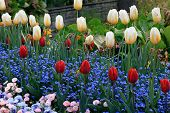 Yellow And Red Tulips With Water Drops And Multicolored Garden Flowers