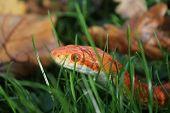 foto of jungle snake  - Albino Snake  - JPG