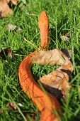 stock photo of jungle snake  - Albino Snake  - JPG