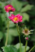 Flowering Strawberry (fragaria X Ananassa). This Is Hybrid Variety Has Pink Flowers, Rather Than The