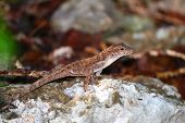 Anole Lizard Guanica State Forest