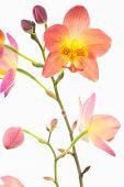 Red Orange Philippine Ground Orchids