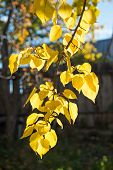 Autumn Branch Of Apricot Tree With Bright Yellow Leaves.
