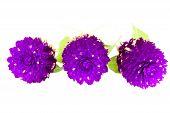 Purple Globe amaranth flower