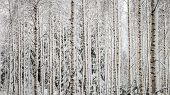 picture of row trees  - White birch Trees in a row in the forest in the winter.