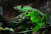 foto of tree snake  - basilisk on a tree branch is a reptile as snake - JPG