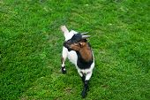 image of baby goat  - baby  goat at green grass background - JPG