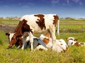 pic of calves  - calves in the meadow - JPG