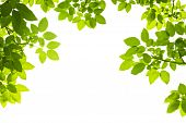 foto of tree leaves  - Green Leaves Foreground on white background isolated - JPG