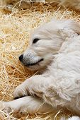 foto of golden retriever puppy  - Little cute Golden Retriever puppy lying on straw - JPG
