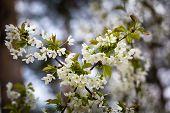 foto of tree-flower  - Beautiful white flowers of cherry tree - JPG
