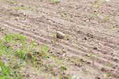 stock photo of plowed field  - Cultivated field with rocks - JPG