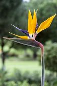 picture of bird paradise  - Strelitzia reginae is a monocotyledonous flowering plant indigenous to South Africa - JPG