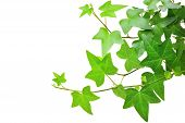 picture of climber plant  - Closeup of ivy plant isolated on white background - JPG