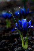 foto of night-blooming  - Iris at night - JPG