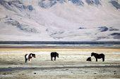 image of iceland farm  - Icelandic ponies  - JPG