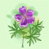 picture of geranium  - Flower  - JPG
