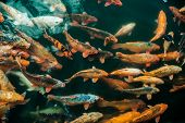 foto of fish pond  - Plenty of colorful Koi fish in transparent water of a pond - JPG