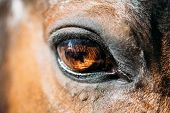 pic of horse-breeding  - Close Up Of Arabian Bay Horse - JPG
