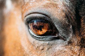 stock photo of big horse  - Close Up Of Arabian Bay Horse - JPG
