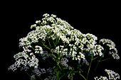 Plantas de inflorescências Umbellate em preto
