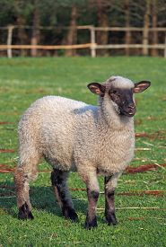image of suffolk sheep  - Young suffolk sheep on a green pasture - JPG