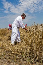 picture of scythe  - Farmer is reaping wheat manually with a scythe in the traditional rural way - JPG