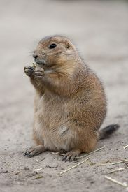 picture of groundhog  - Standing and eating groundhog - JPG
