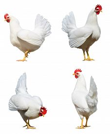 stock photo of roosters  - Chicken hens and roosters isolated on a white background in different poses with clipping paths - JPG